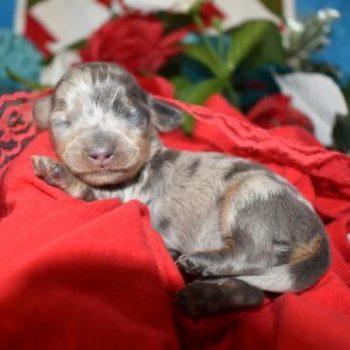 Blue Crea Dapple SH Miniature Dachshund Puppies for Sale