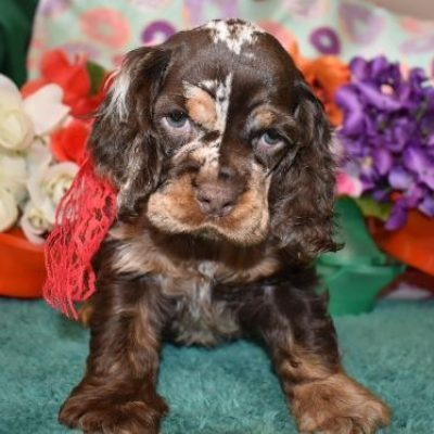 Chocolate Merle cocker spaniel puppy for sale