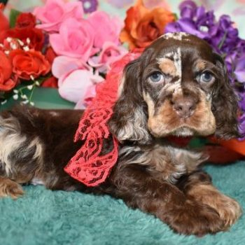 Chocolate Merle cocker spaniel puppy with blue eyes