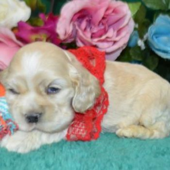 Lilly Pad Silver Buff Cocker Spaniel Litter for sale