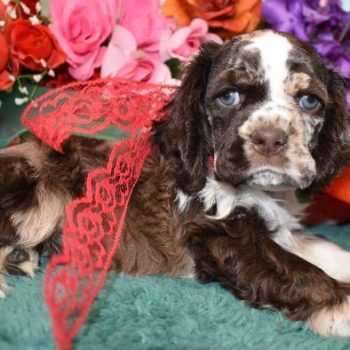 Teddy Chocolate Merle cocker spaniel puppy for sale near me