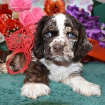 Chocolate Merle cocker spaniel puppy