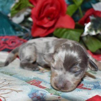 Male Blue Cream Dapple LH AKC Miniature Dachshund puppies for sale in colorado