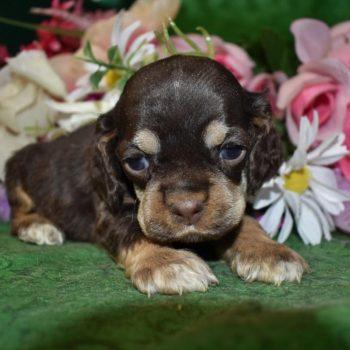 AKC Female Chocolate Tan Cocker Spaniel Puppies for sale in Colorado