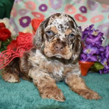Chocolate Merle cocker spaniel puppy with beautiful markings