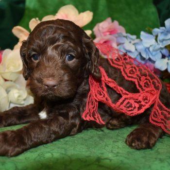 male chocolate Cockapoo puppy for sale in Colorado