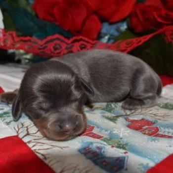Male Blue Tan LH AKC Miniature Dachshund Puppies for sale