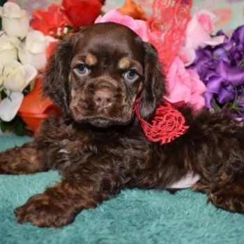 Chocolate Merle cocker spaniel litter