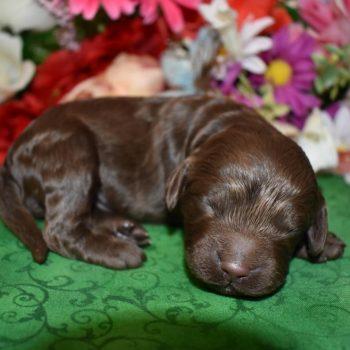 male chocolate cockapoo pups