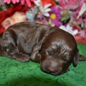 male chocolate cockapoo puppies
