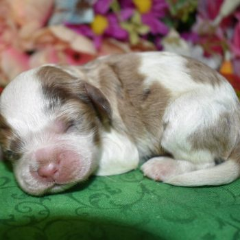 chocolate tan parti Merle Cocker Spaniel puppy for sale