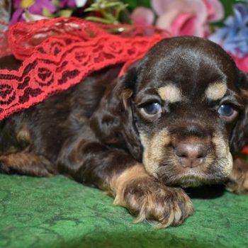 AKC Male Chocolate Tan Cocker Spaniel Puppy for sale