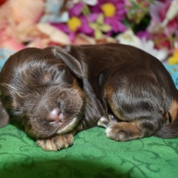 male chocolate and tan cocker spaniel puppies for sale