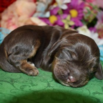 Colorado chocolate and tan cocker spaniel puppies for sale