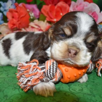 AKC male chocolate tan parti Cocker Spaniel Puppies for sale in CO